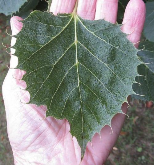 Henry's Lime leaf