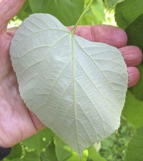 Oliver's Lime leaf
