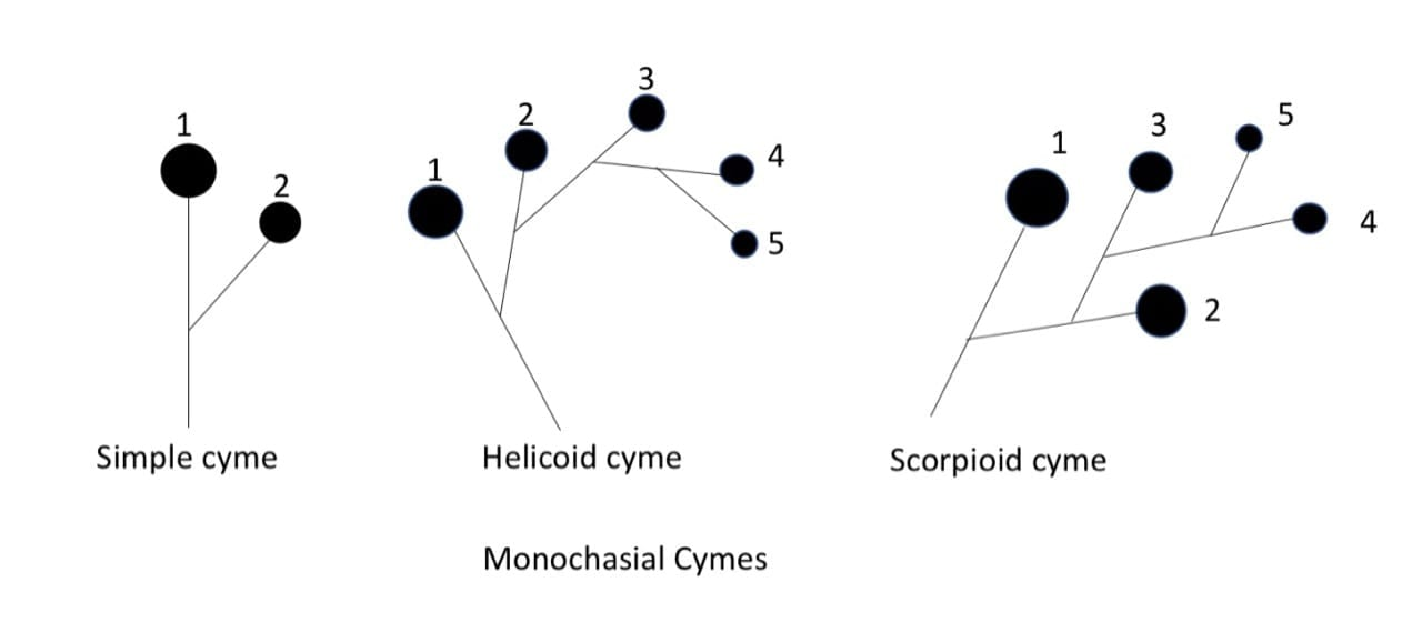 monochasial cymes