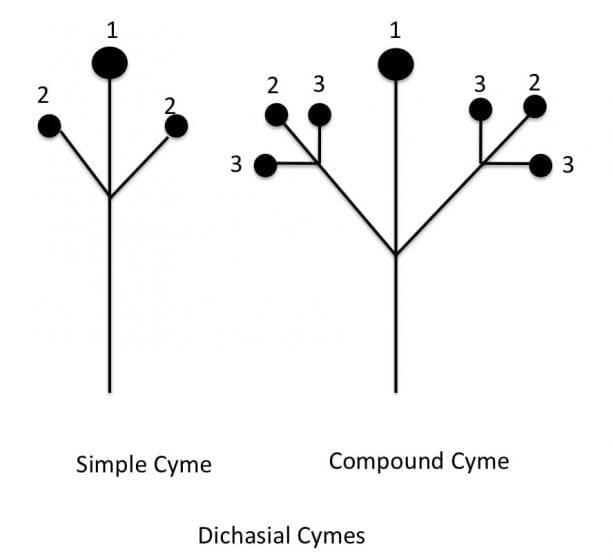 dichasial cymes