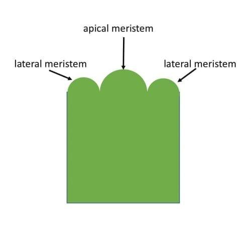 apical, lateral meristem
