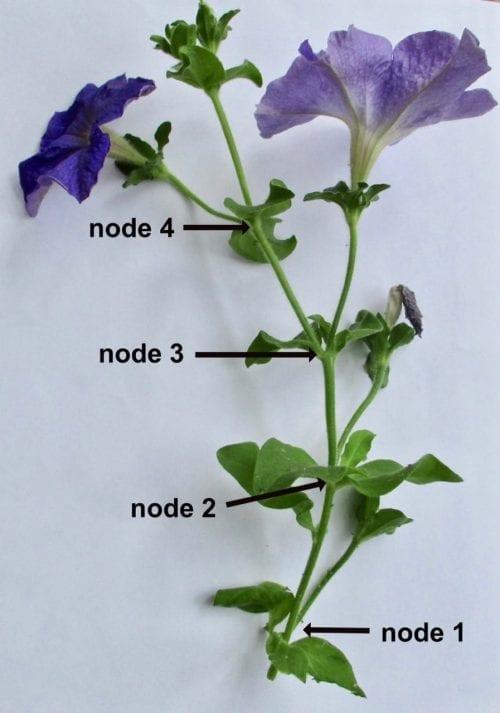 petunia cymose growth
