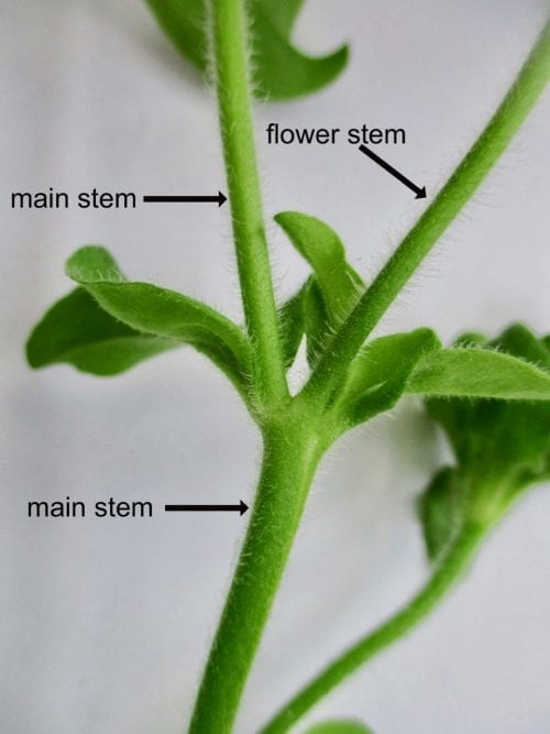 petunia cymose growth