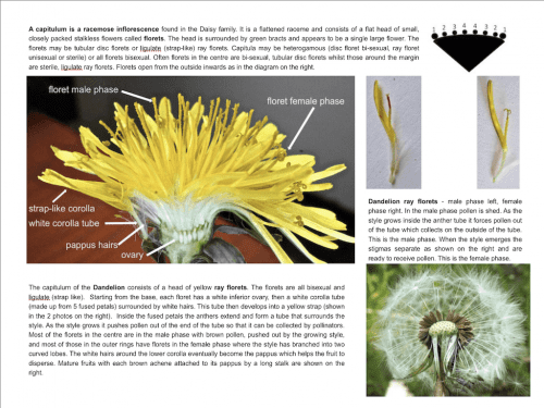 Flowers eBook sample page - dandelion flower structure