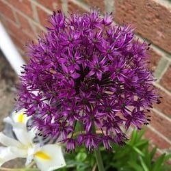Allium hollandicum flower head