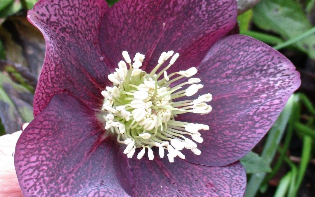 January Flowers – Hellebores
