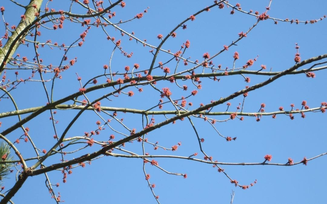 Silver Maple Red Flowers