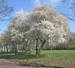 Cherry Plum tree