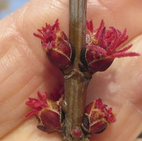 Silver Maple female flower buds
