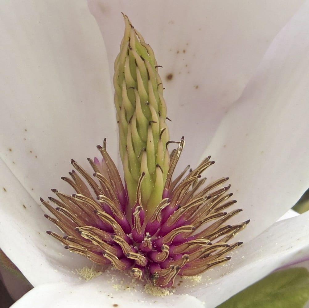 Saucer Magnolia flower after pollen release