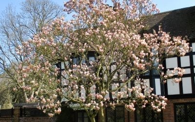 Early Flowering Magnolia