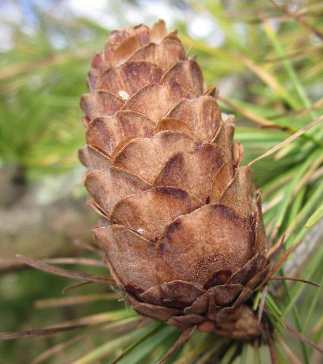 European Larch cone