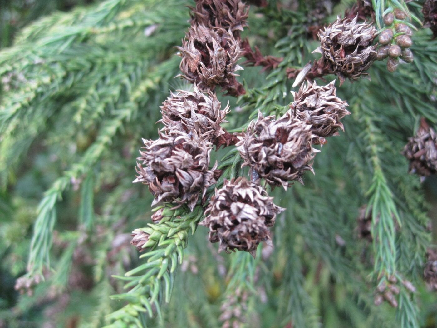 Japanese Red Cedar cones