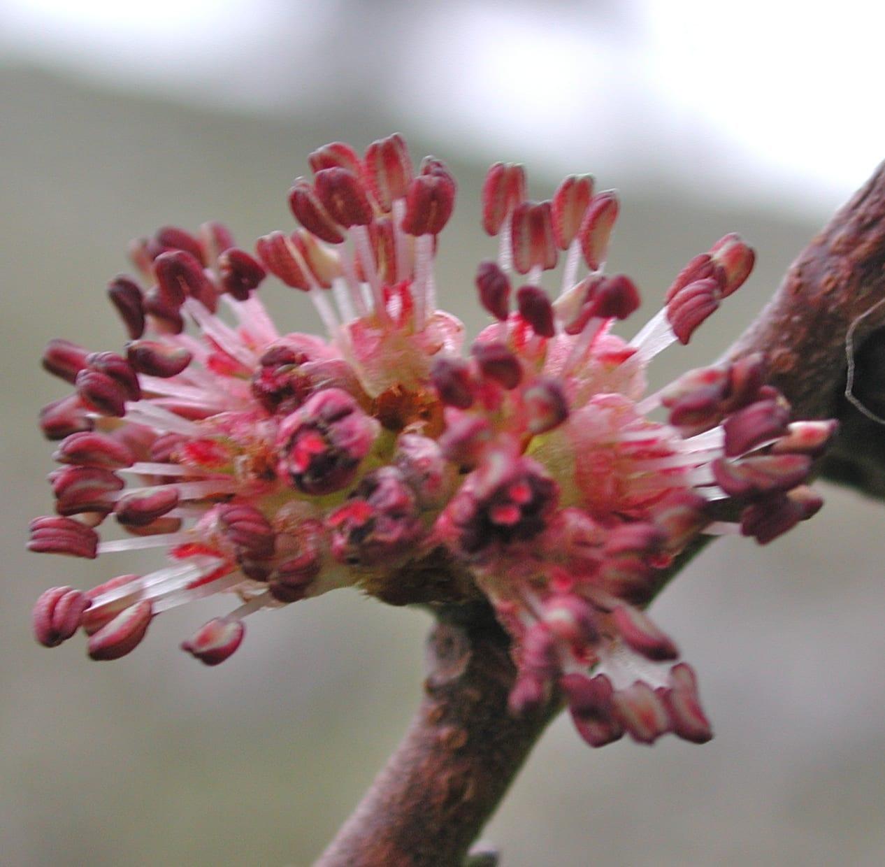 wych Elm flower male phase