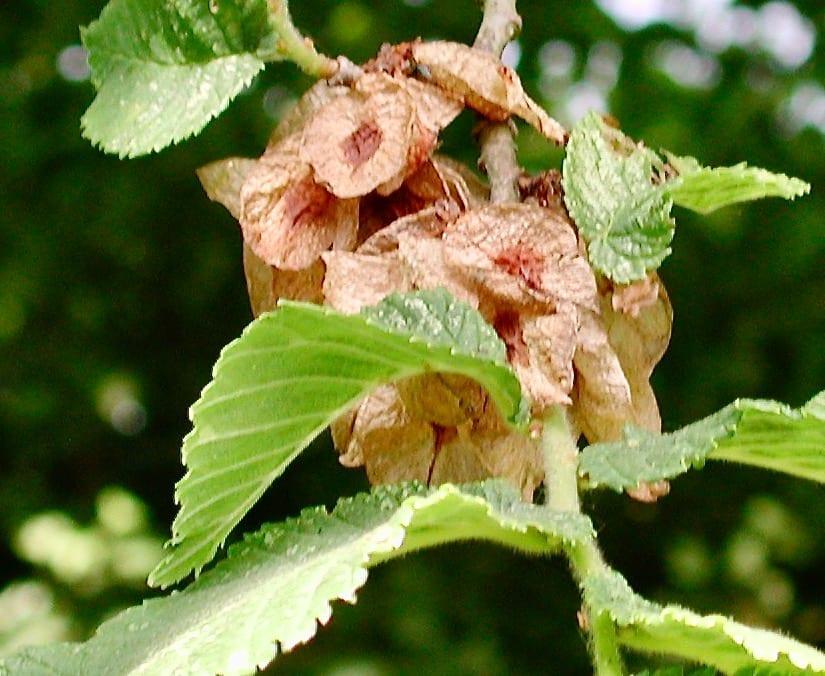 Wych Elm fruit in June