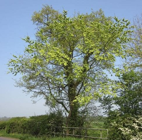 Wych Elm in March