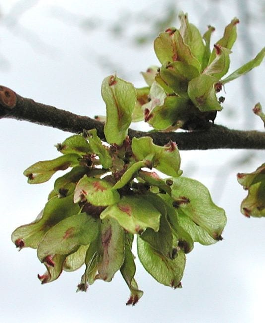 Wych Elm flowers and fruit