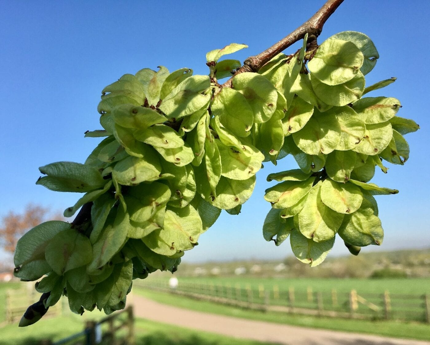 Wych Elm fruit in April