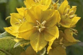 Whorled Loosestrife flowers