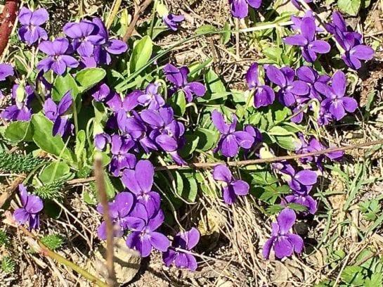 common dog violet flowers