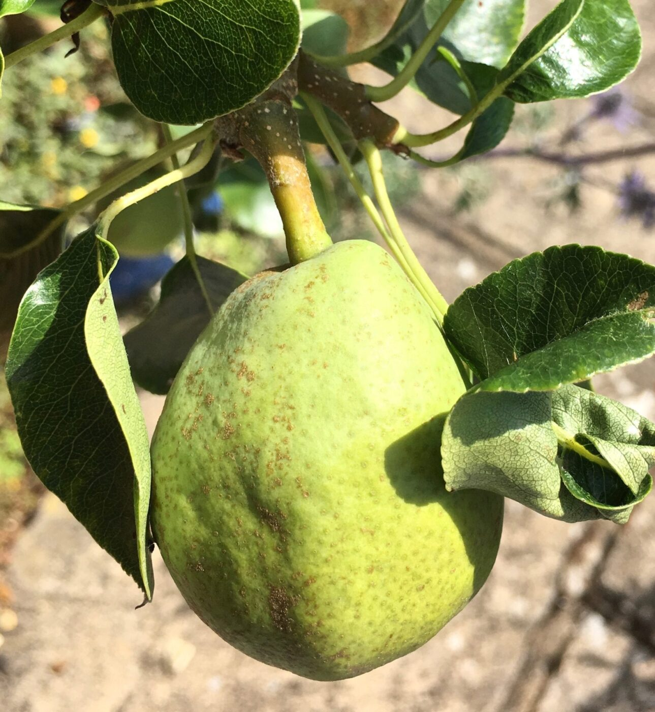 Common Pear fruit