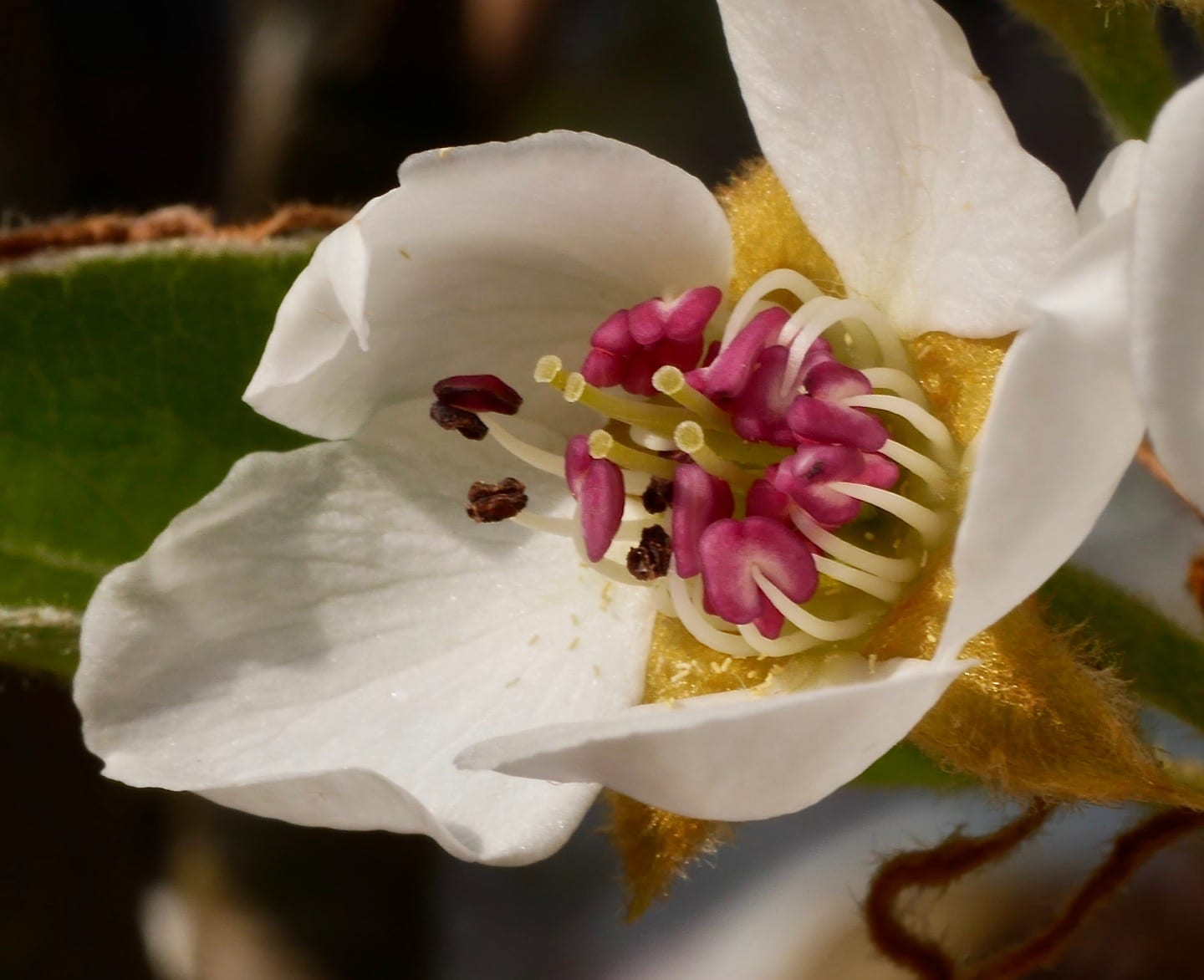 Common Pear flower