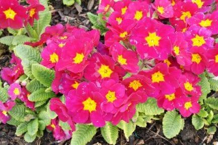 polyanthus crescendo wine flowers