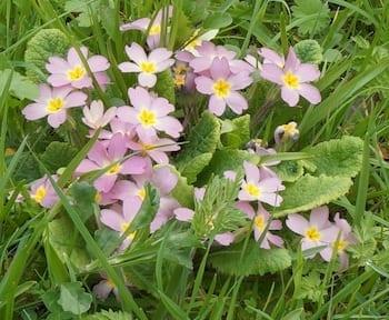 bird's-eye primrose flowers