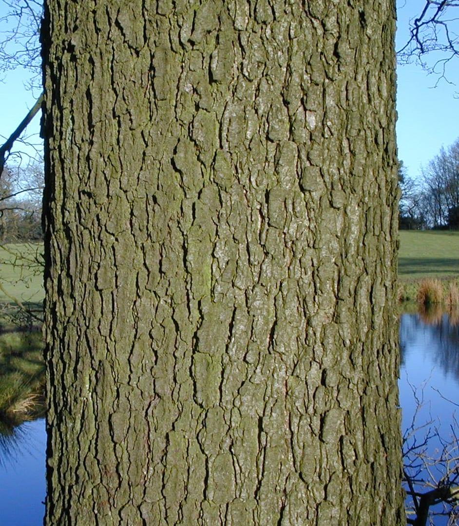 Common Alder bark