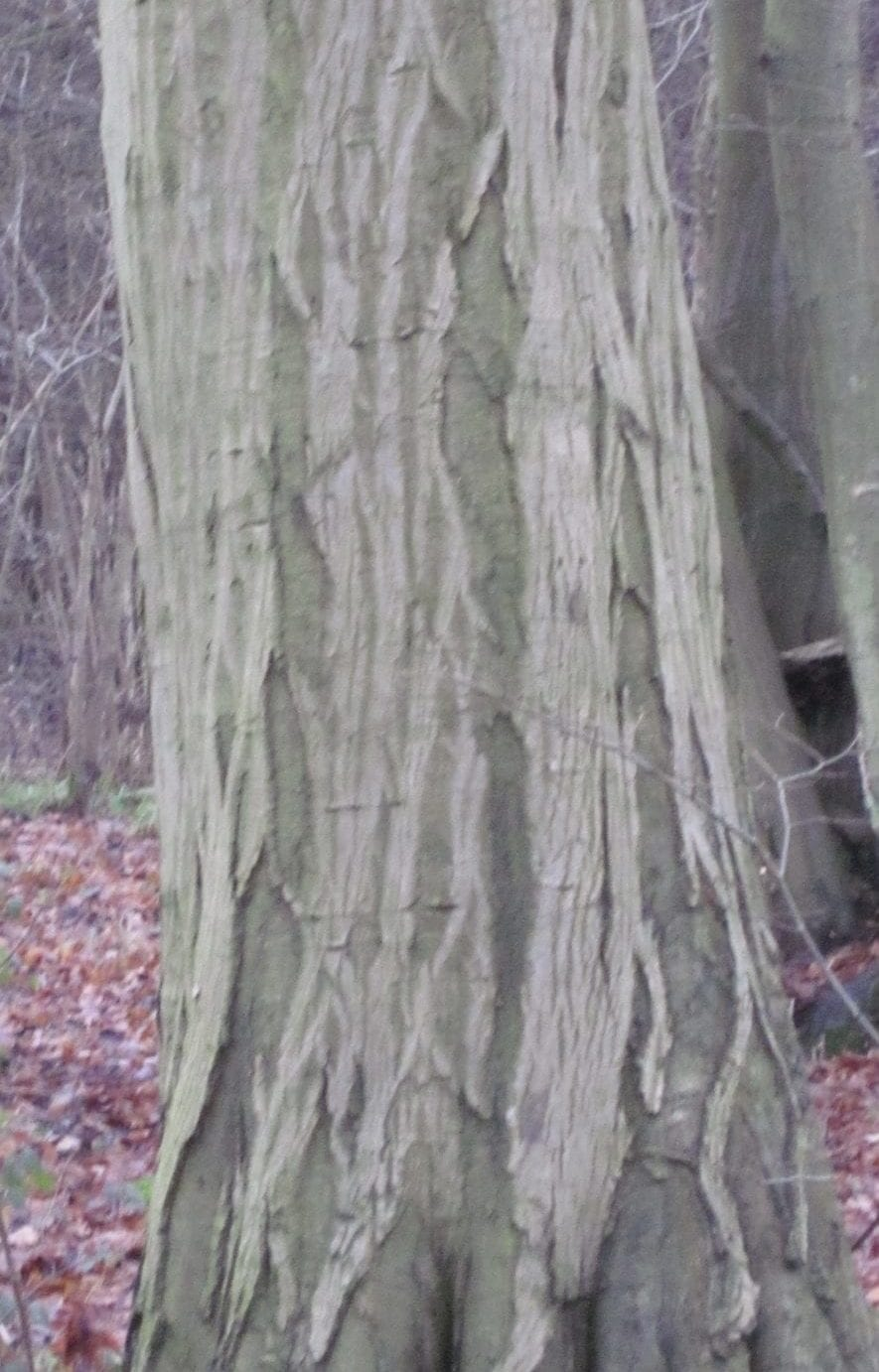 common hornbeam bark