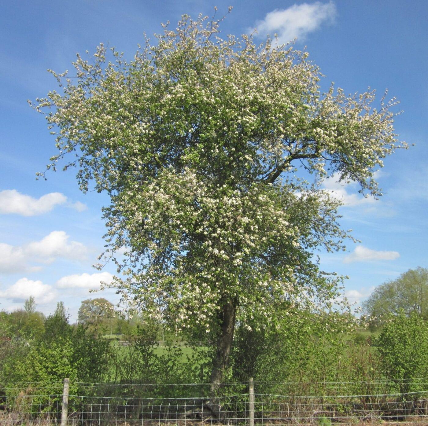 crab apple tree May blossom