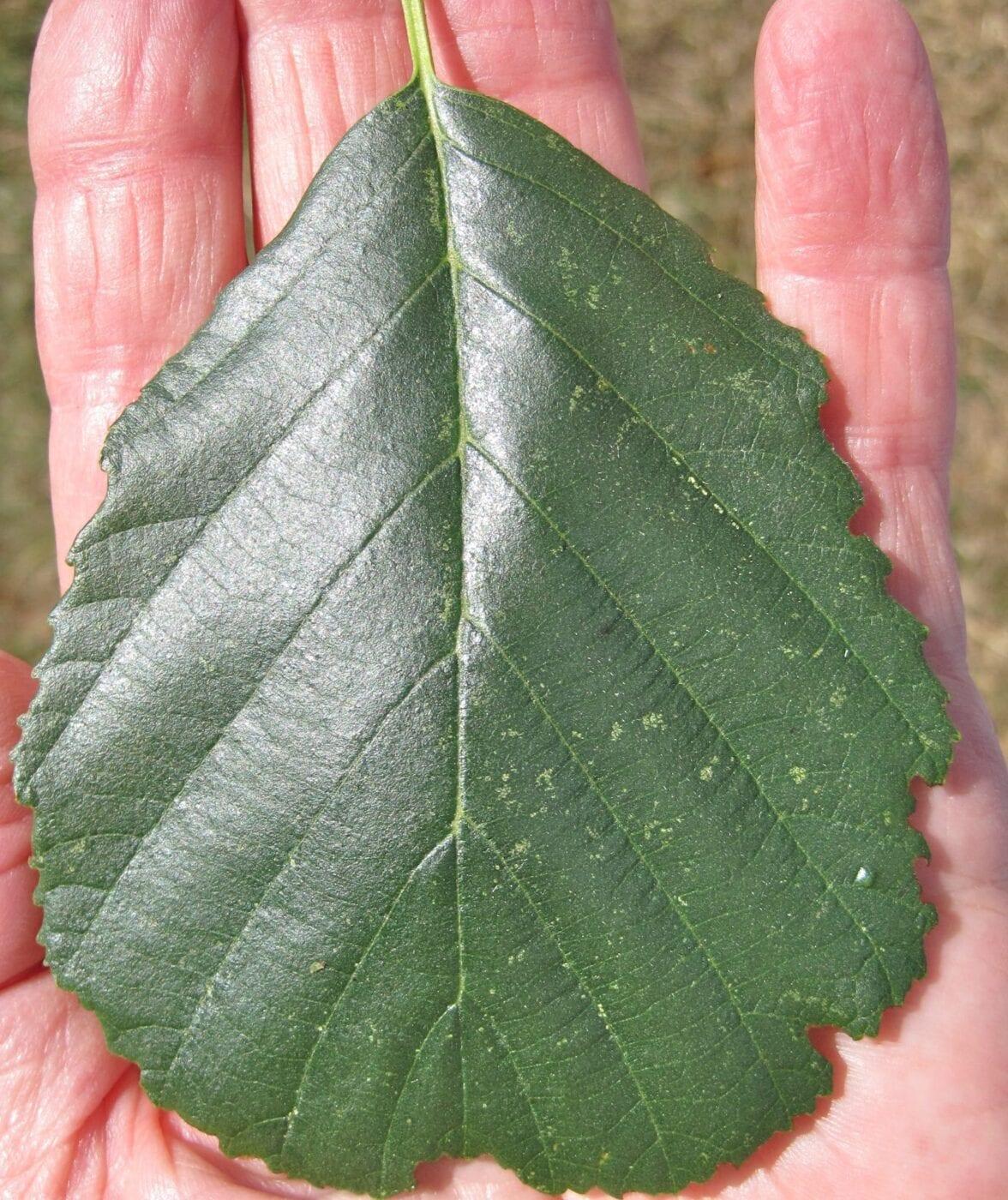 Common Alder leaf