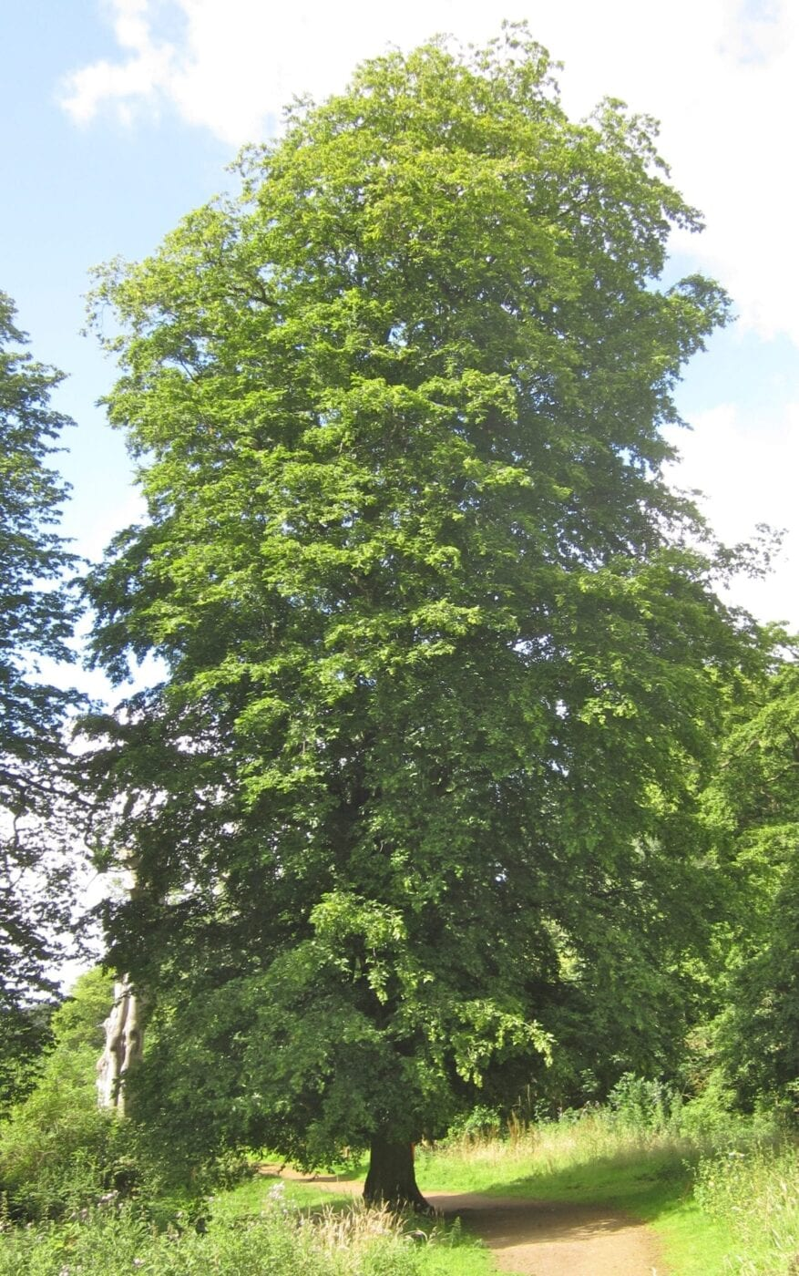 common hornbeam tree in august