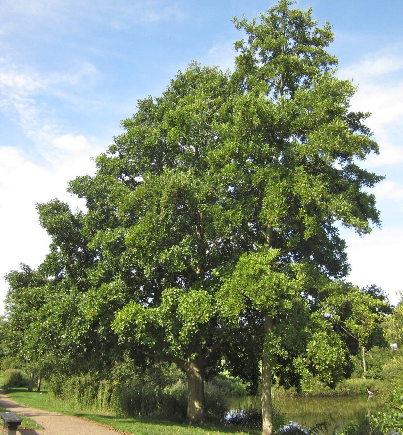 Common Alder tree