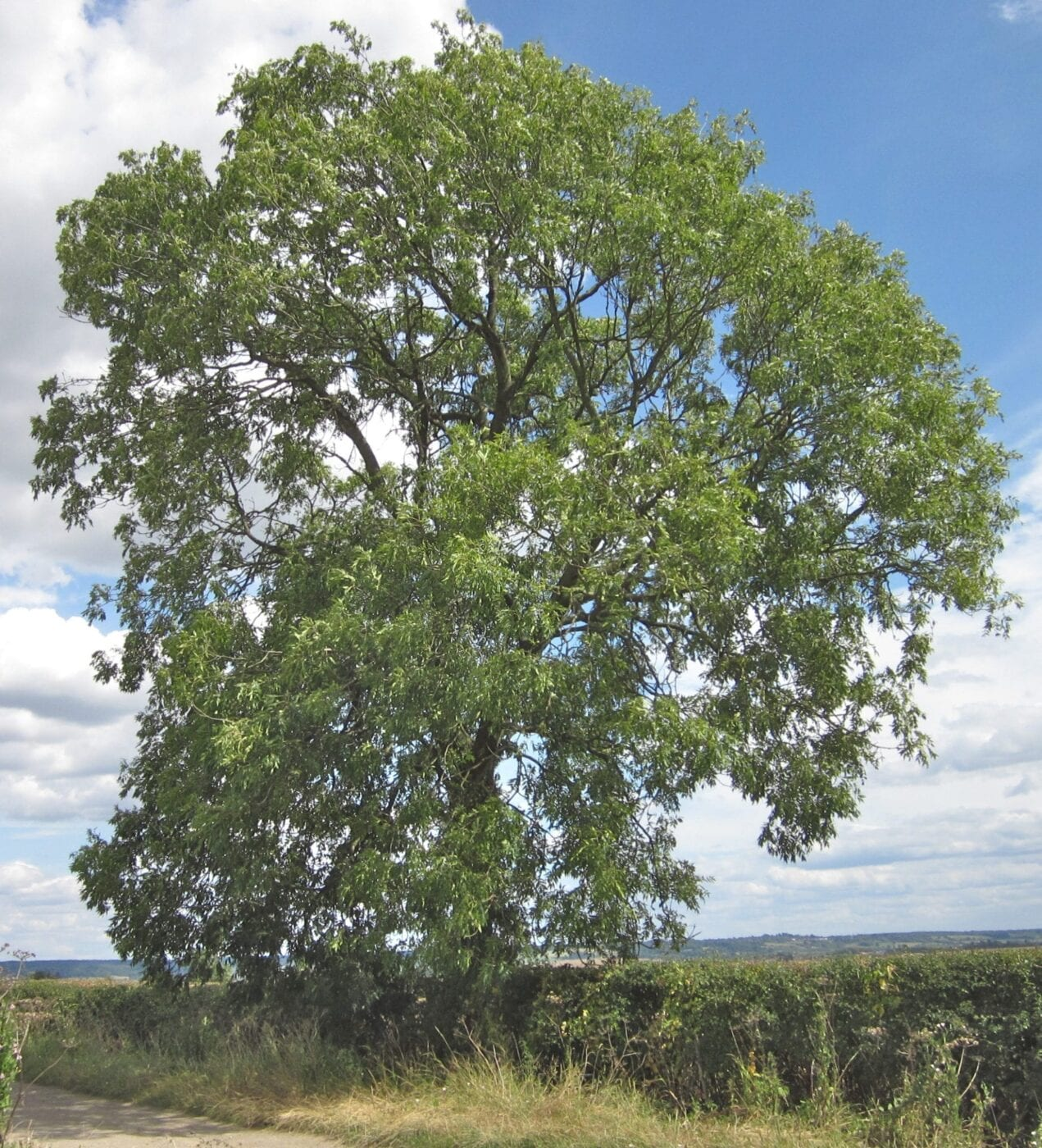 common ash tree