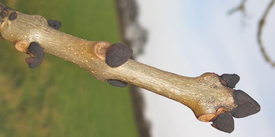 common ash tree buds