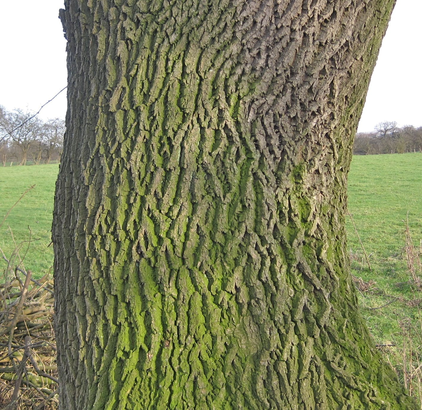 common ash tree bark