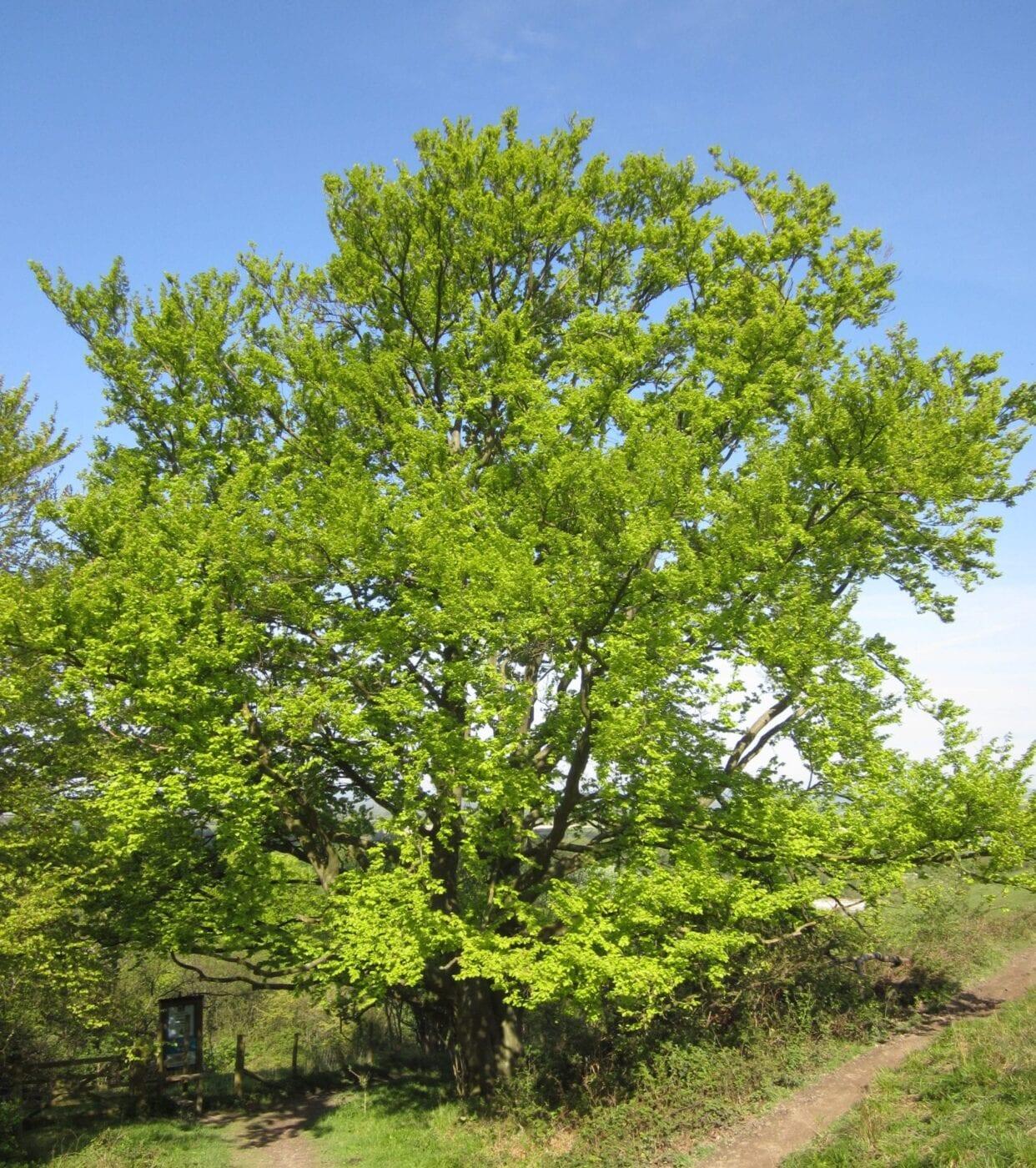 common beech tree