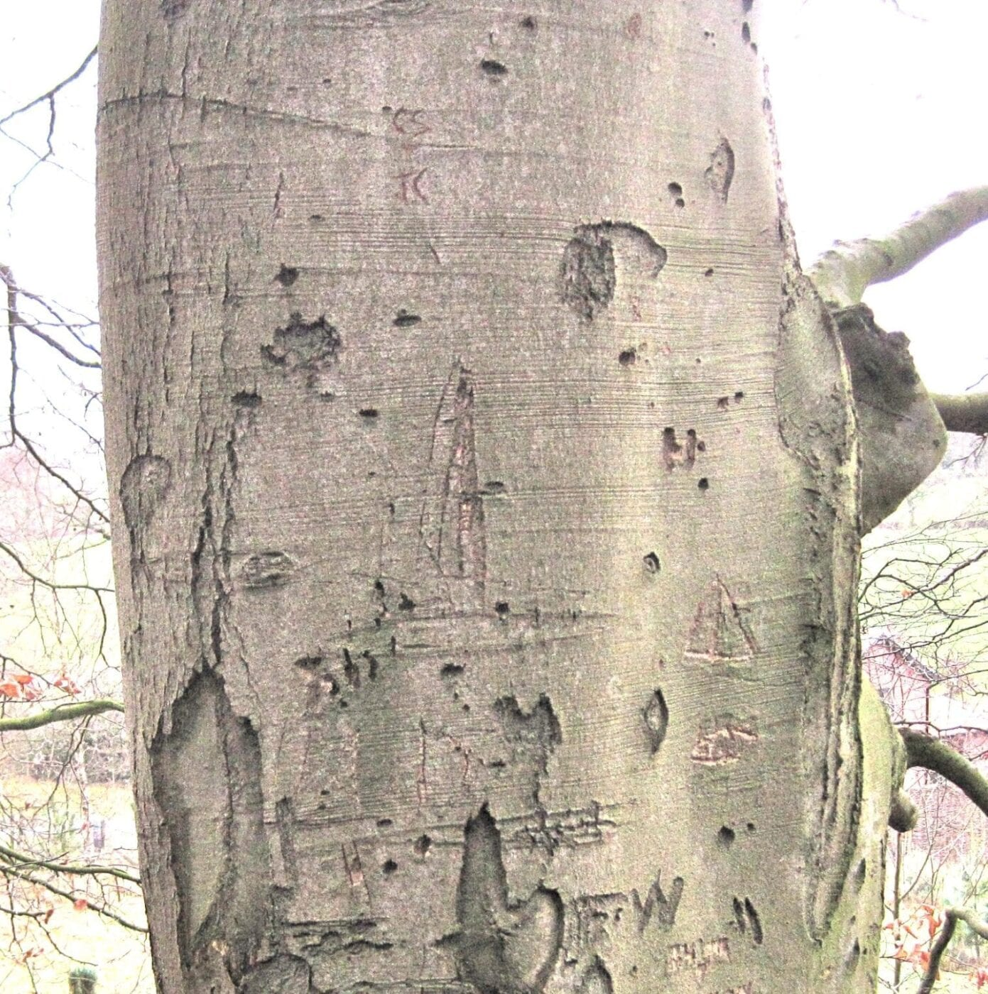 beech tree bark