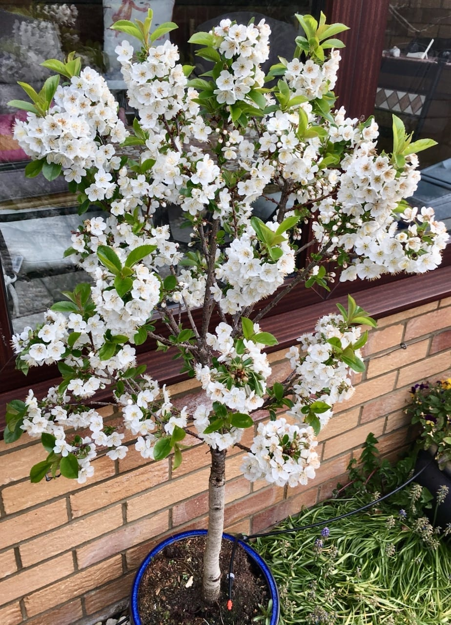 Dwarf Cherry Tree Guide Uk Dwarf Cherry A Year In Pictures