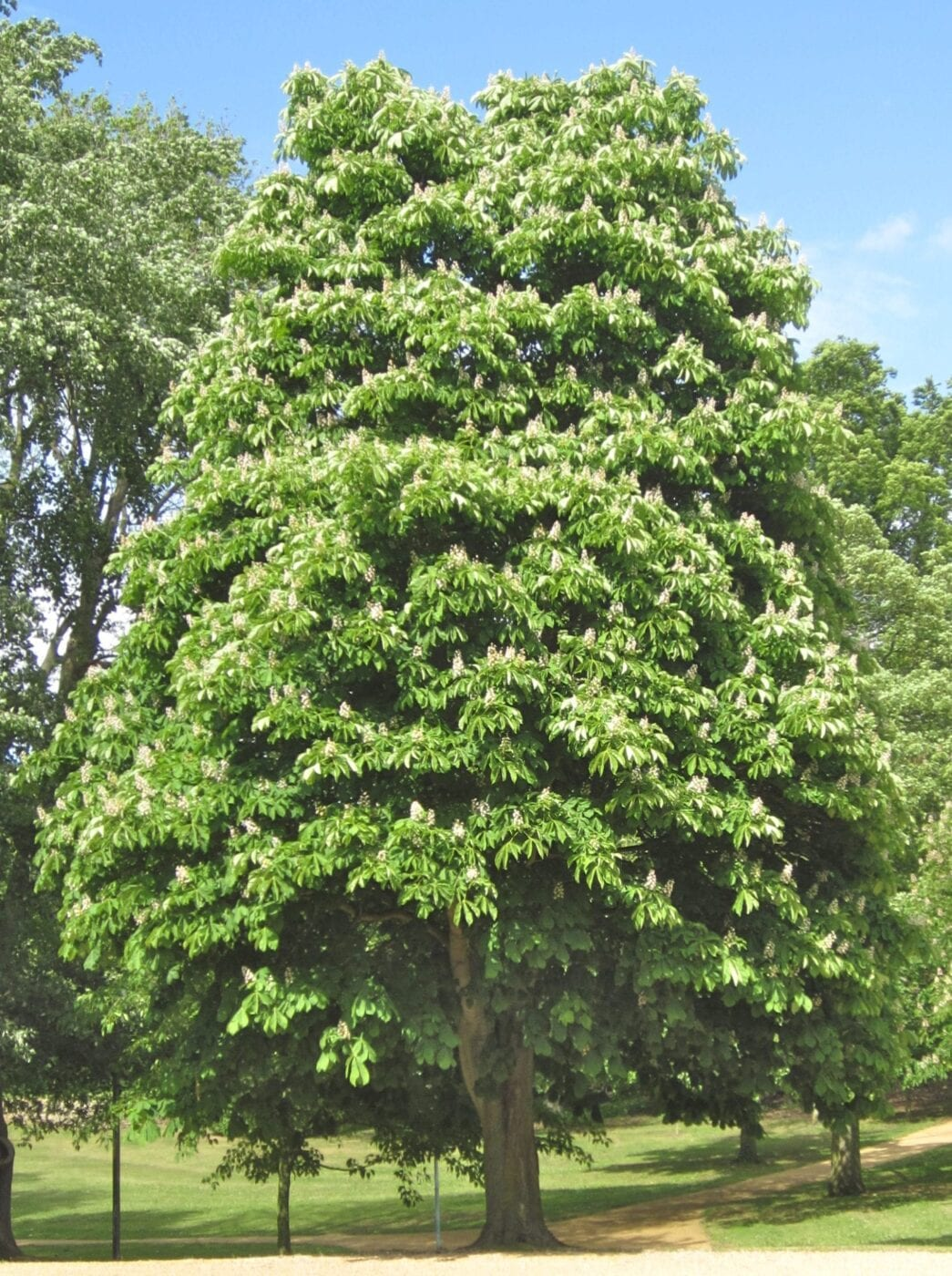 horse chestnut tree in May