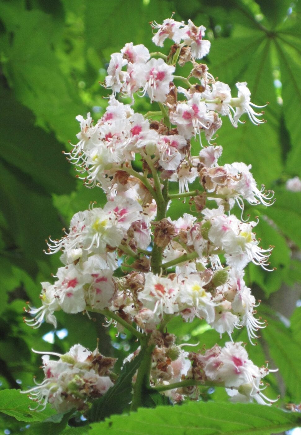 horse chestnut flower panicle