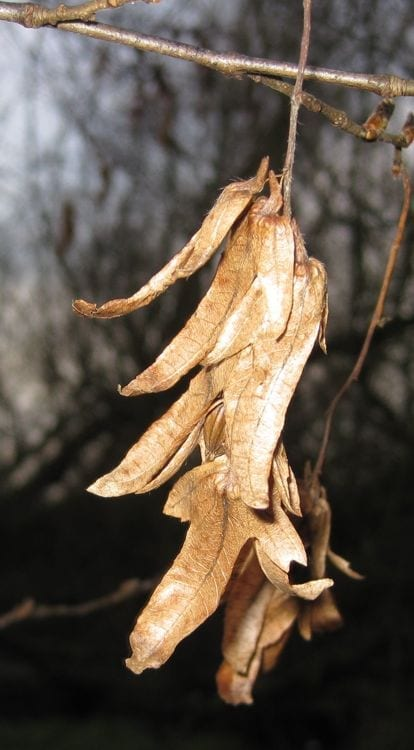 common hornbeam bracts in winter
