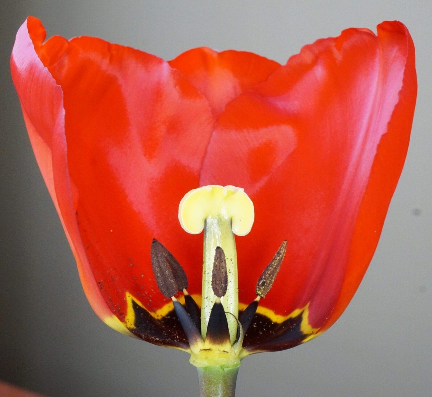 tulip flower section