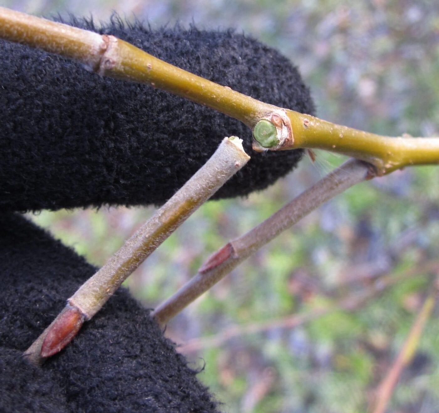 Crack Willow twig
