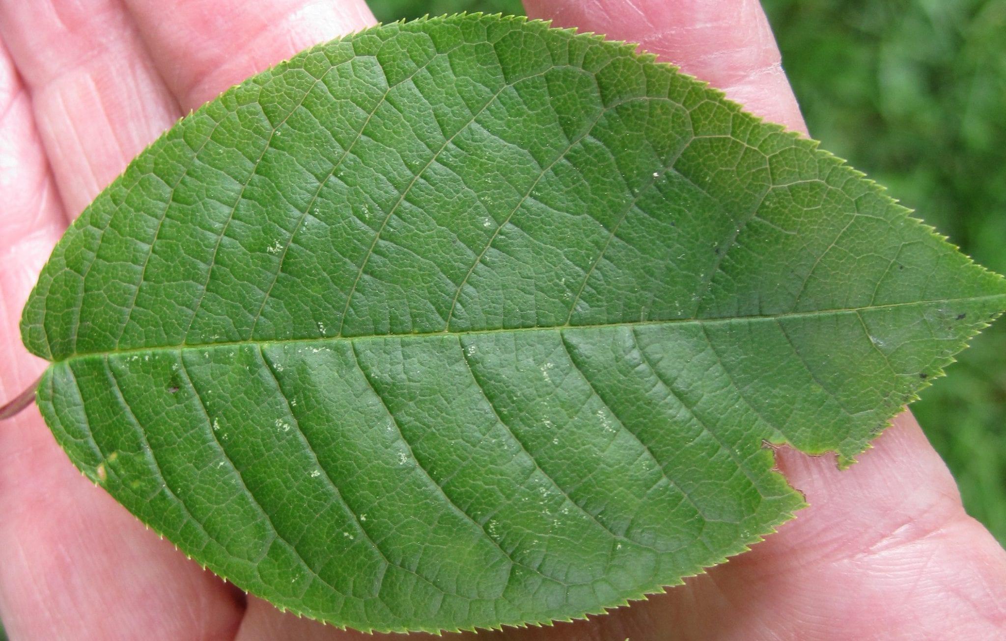 Bird Cherry leaf