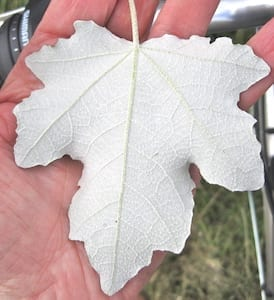 White Poplar leaf