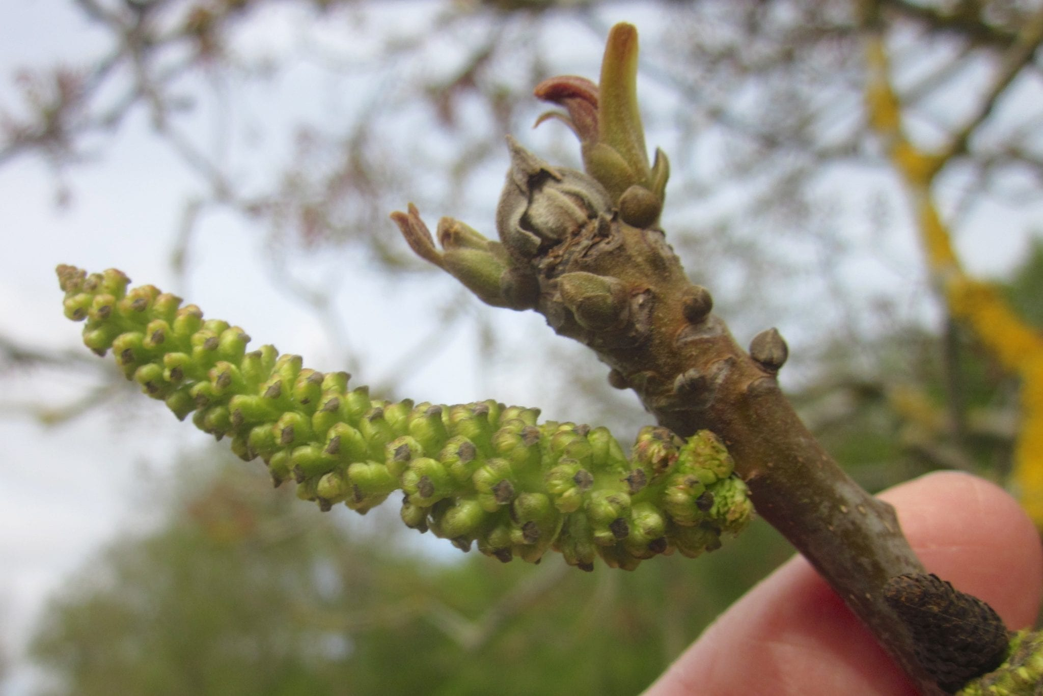 walnut male catkin