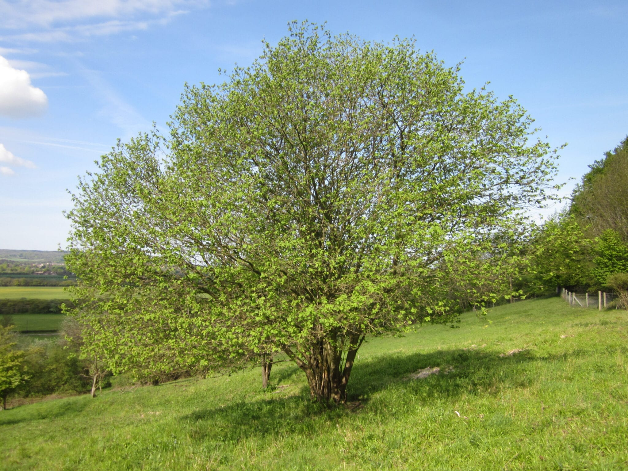 common hazel tree