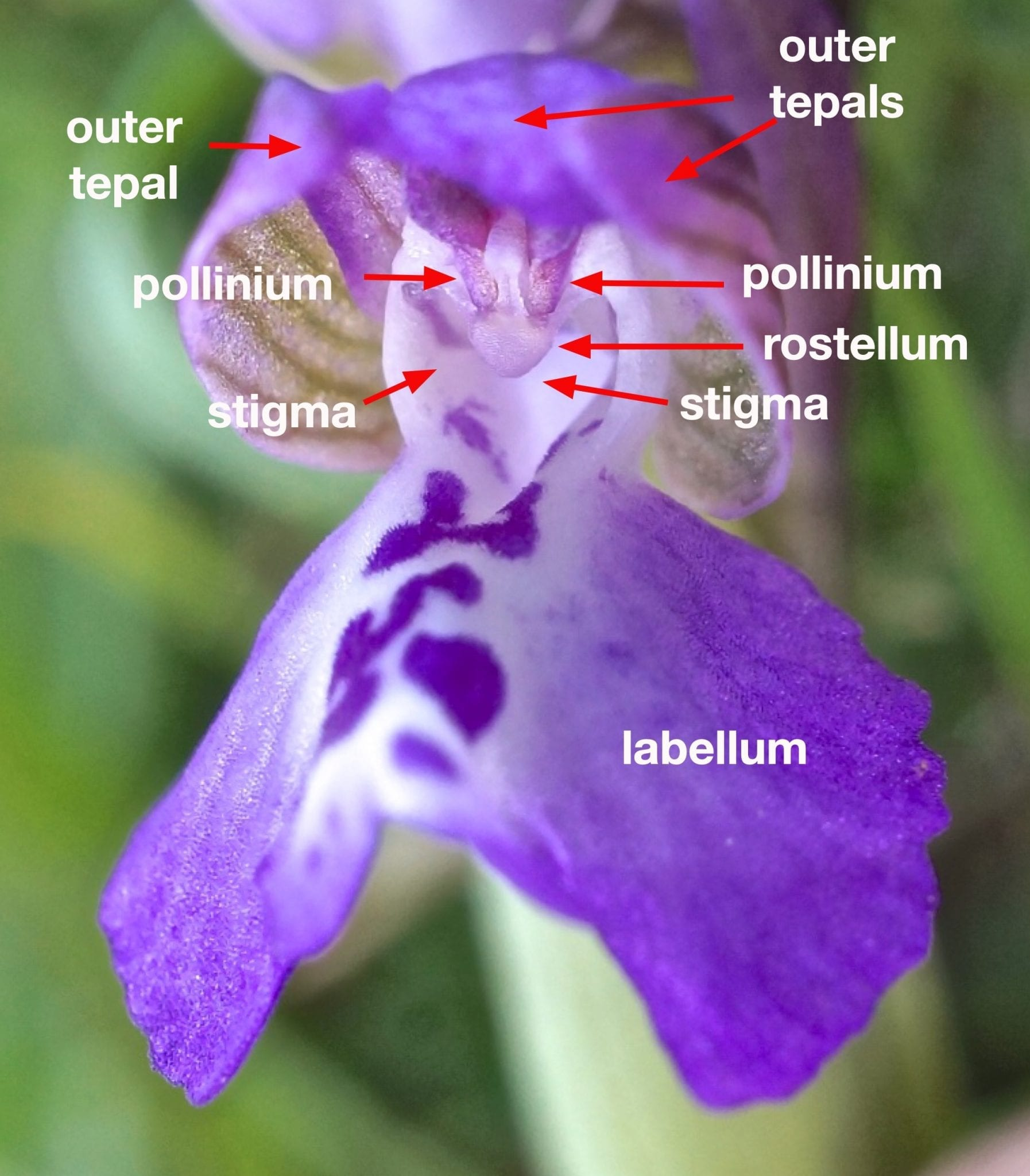 green-winged orchid flower
